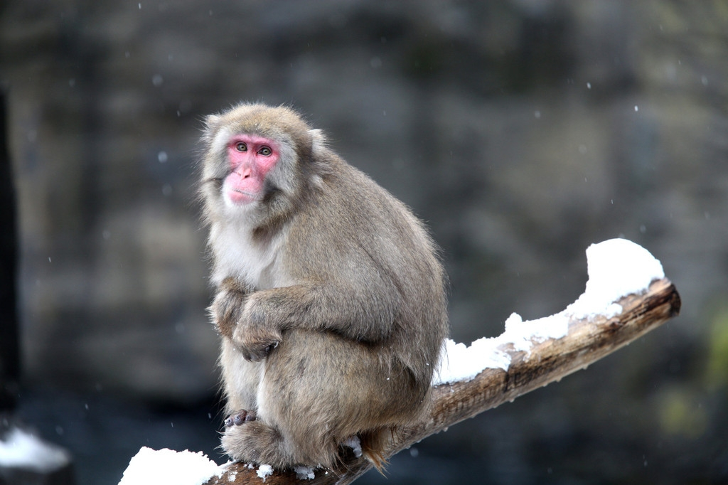 Snow Monkeys at the Central Park Zoo in NYC 40282