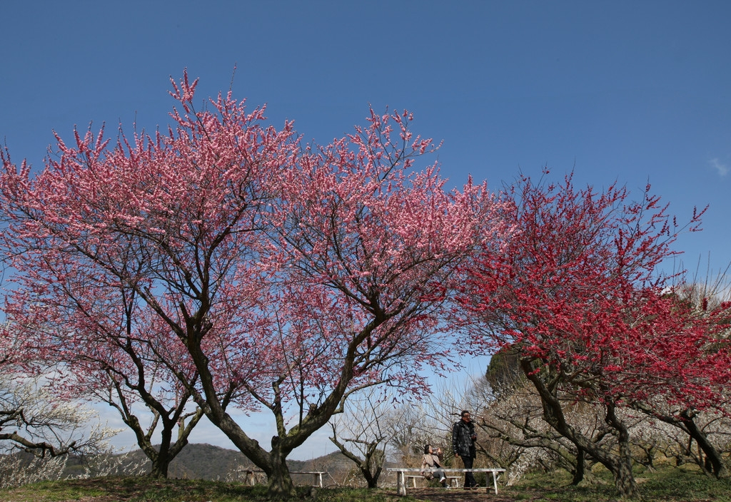 Plums in Full Bloom in Hyogo 43304