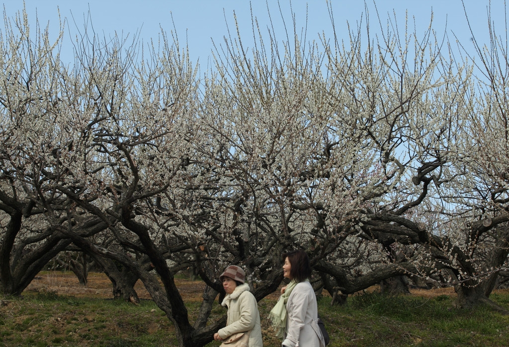 Plums in Full Bloom in Hyogo 43426