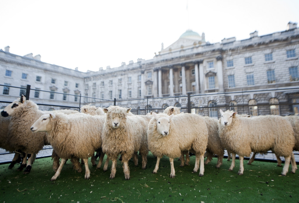 Sheep Graze at Somerset House 43855