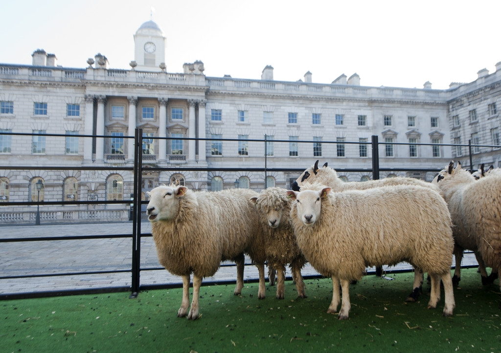 Sheep Graze at Somerset House 43904
