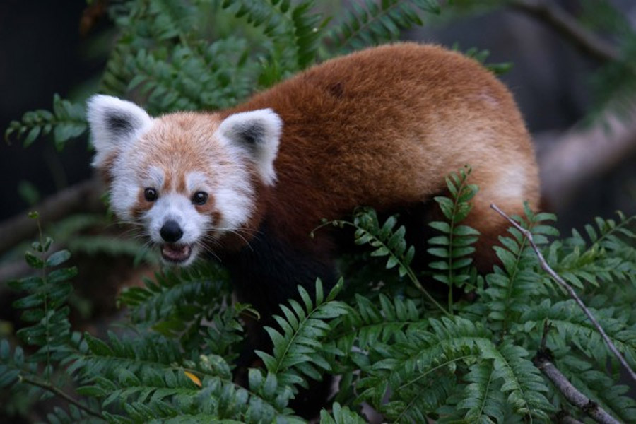Rusty the red panda 'is sleeping well, eating well,' officials report 44660