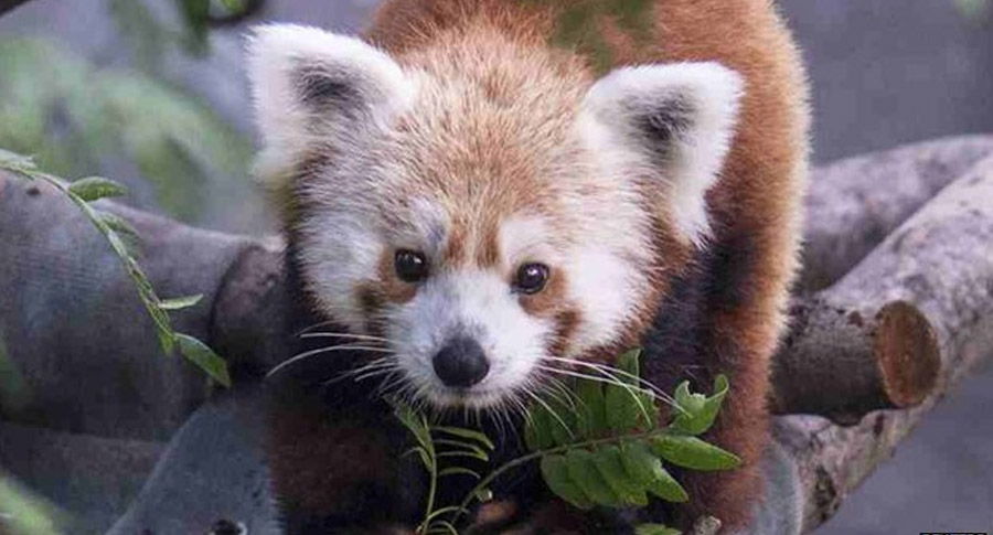 Missing red panda Rusty found after going on the run 44661