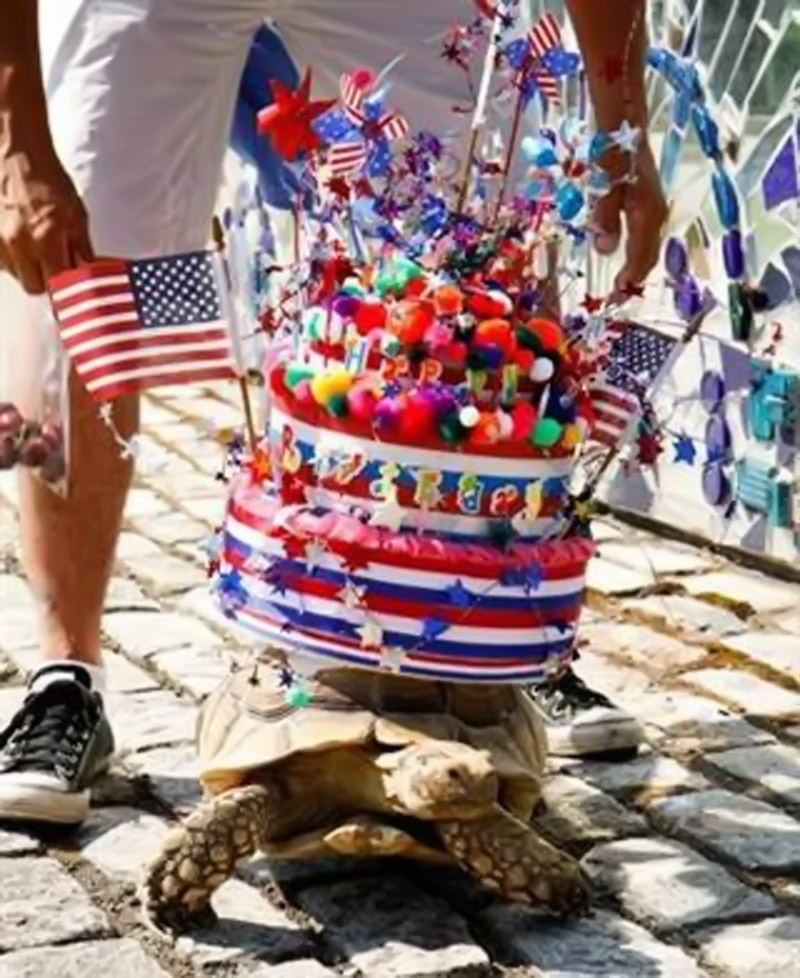 "they celebrate with a parade of talented pets and animals. A common favorite is Turtle Brutus ""who always carry some kind of wild, patriotic contraption on his shell,"" Nick Prevas 44914"