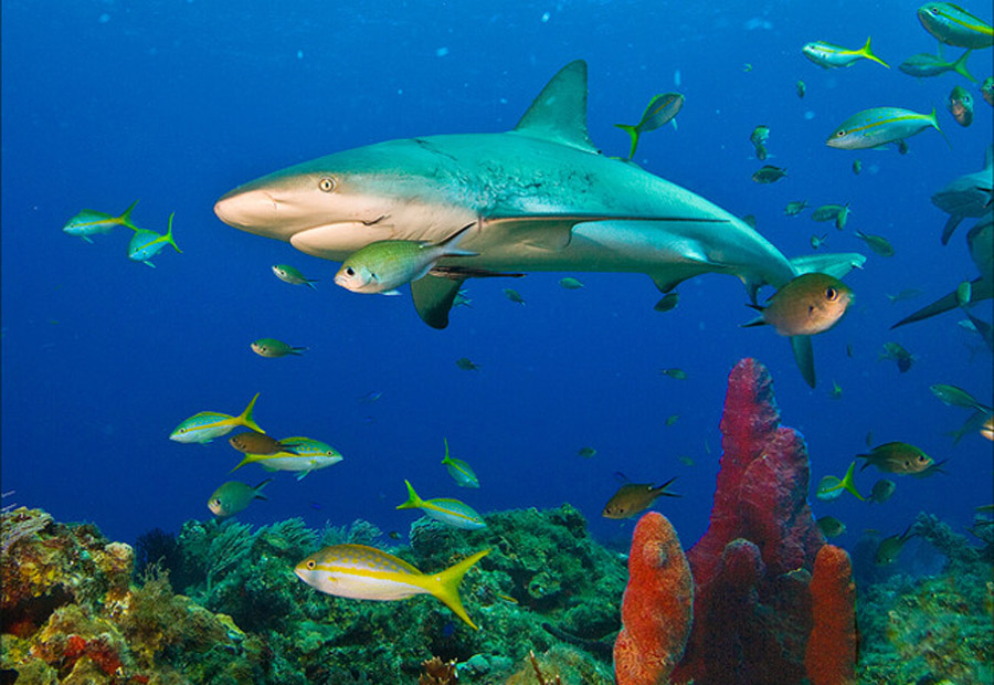 Sharks act as indicators of the ocean's health 45713