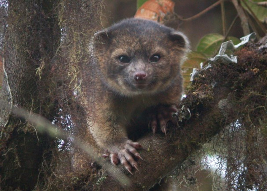 Smithsonian unearths a new species of mammal: The olinguito 46032