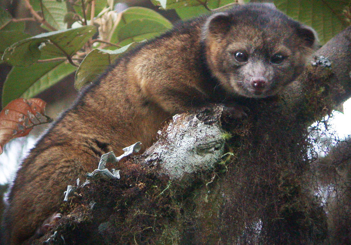 Newly Discovered Carnivore Looks Like Teddy Bear 46036