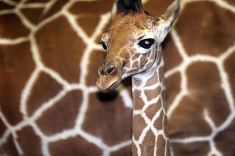 Giraffe riddle rouses Facebook users' 'inner children' 47720