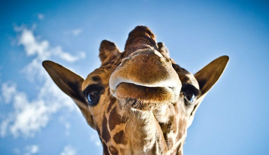 Giraffe Riddle Sweeps Facebook: Is The Answer Eyes Or Door? 47722