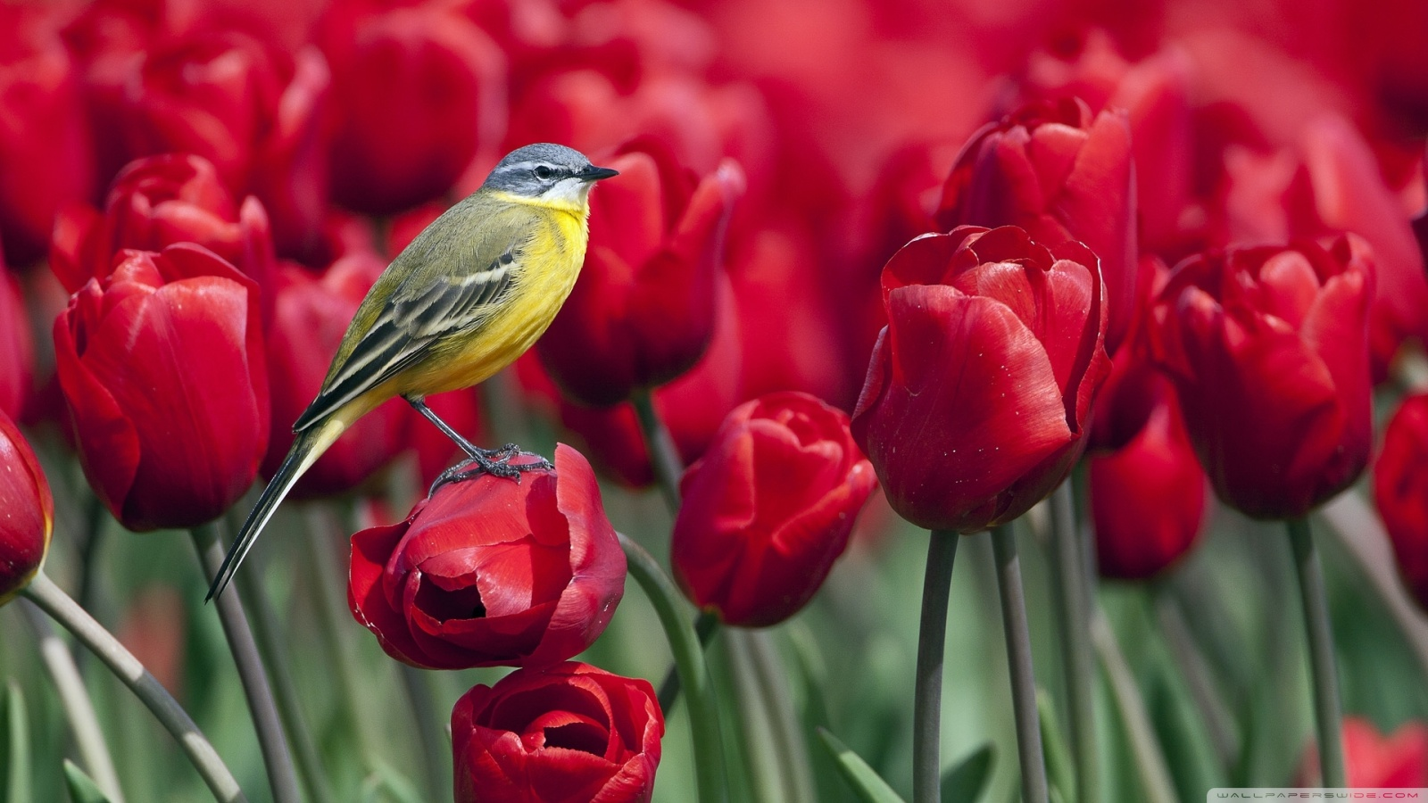Birds and red tulips 49359