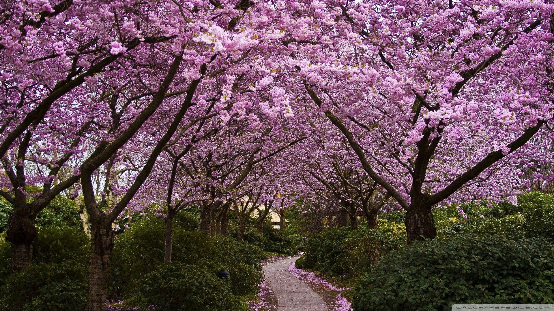 Pink trees 49375
