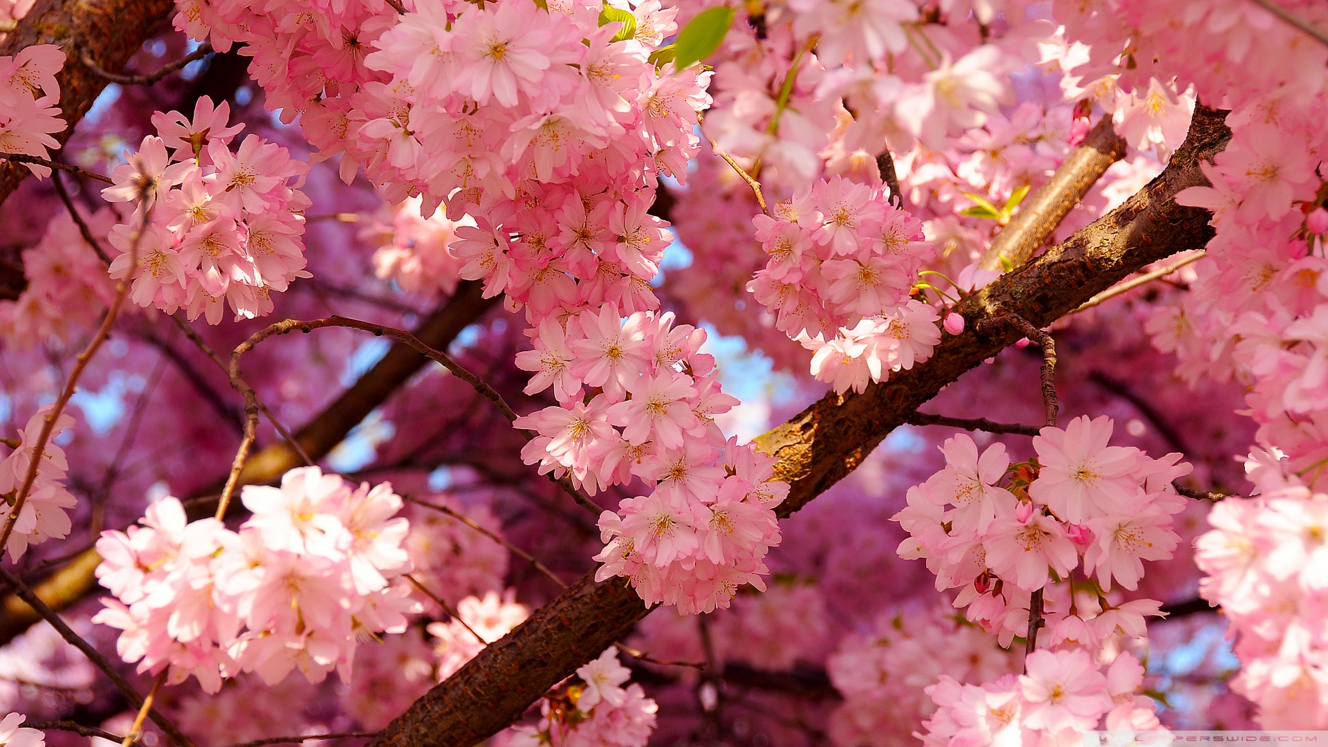 Pink cherry flowers 49416