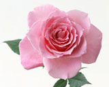 Rose Wallpaper 3798