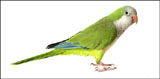 High-definition pictures parrot 17983