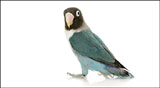 High-definition pictures parrot 18085