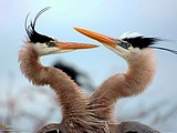 Two Blue Heron Wallpaper 15919