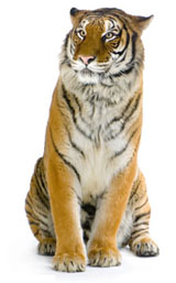 High-definition pictures tiger 2405