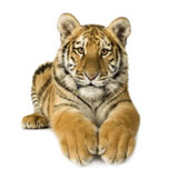 High-definition pictures tiger 2734