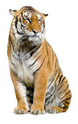 High-definition pictures tiger 2896
