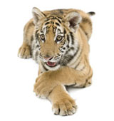 High-definition pictures tiger 341