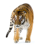 High-definition pictures tiger 3533
