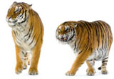 High-definition pictures tiger 3978