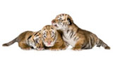 High-definition pictures tiger 691