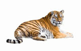 High-definition pictures tiger 866