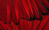 Feather wings close-up 1041
