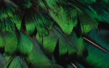 Feather wings close-up 1559