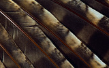 Feather wings close-up 29302