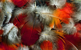 Feather wings close-up 867