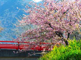 Romantic Cherry Blossom 3285