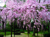 Romantic Cherry Blossom 416