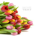 High-definition material tulip 12962