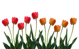 Large tulip picture 13517