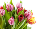 Large tulip picture 14211