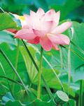Used Lotus photo 12042
