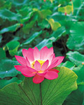 Used Lotus photo 12301