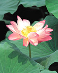 Used Lotus photo 12640