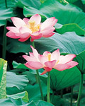 Used Lotus photo 13281
