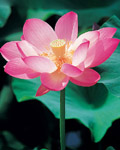 Used Lotus photo 13439