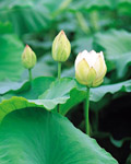 Used Lotus photo 14353
