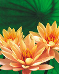 Used Lotus photo 14422
