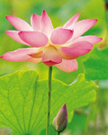 Used Lotus photo 15212