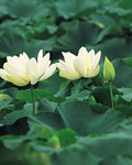 Used Lotus photo 15583