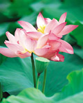 Used Lotus photo 15704