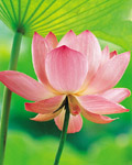 Used Lotus photo 15824