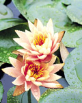Used Lotus photo 16473