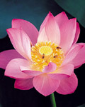 Used Lotus photo 16763